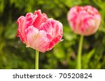 pink tulips on green with shallow depth of field - stock photo