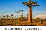 beautiful baobab trees at... | Shutterstock . vector #705245584