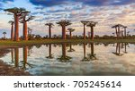 beautiful baobab trees at... | Shutterstock . vector #705245614