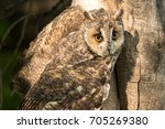 great horned owl with yellow... | Shutterstock . vector #705269380