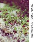 wild lingonberry growing in...   Shutterstock . vector #705273646
