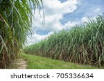 sugarcane field with blue sky | Shutterstock . vector #705336634