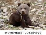 Wild Brown Bear Cub Close Up