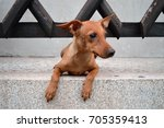 small shy dog near old wooden... | Shutterstock . vector #705359413
