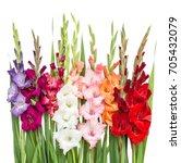 Gladiolus Flowers Isolated On...