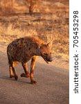 the spotted hyena  crocuta... | Shutterstock . vector #705453298