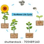 diagram showing life cycle of... | Shutterstock .eps vector #705489160