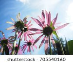 Echinacea Purpurea Flower Fiel...