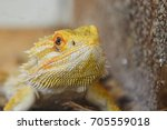 Small photo of Agamic lizard Central bearded dragon Pogona vitticeps head looking forward next to artificial wall in terrarium