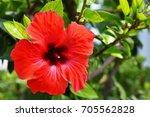 red flower. beautiful flowering ... | Shutterstock . vector #705562828