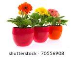 colorful gerber plants in row...   Shutterstock . vector #70556908