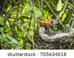 two hatched blackbirds in a... | Shutterstock . vector #705634018