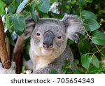 close up of the koala bear... | Shutterstock . vector #705654343