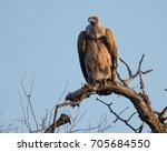 hooded vulture in balule... | Shutterstock . vector #705684550