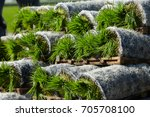 rice paddy plant ready to... | Shutterstock . vector #705708100