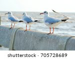 seagull birds   brown headed... | Shutterstock . vector #705728689
