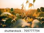 soybean field at sunset | Shutterstock . vector #705777754