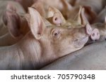 hog waiting feed in the farm.... | Shutterstock . vector #705790348