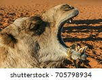 Head Of A Yawning Camel In The...