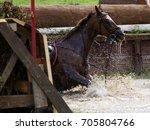 horse falls in the water... | Shutterstock . vector #705804766