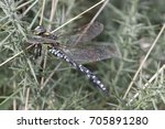 Small photo of common hawker dragonfly, Aeshna juncea