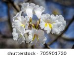 white trumpet tree | Shutterstock . vector #705901720