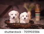Stock photo maltese puppies 705903586