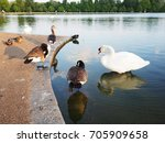 beautiful swan animal community ... | Shutterstock . vector #705909658
