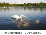 beautiful swan animal community ... | Shutterstock . vector #705910660