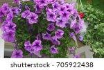 Purple  Violet  Petunia Hybrid...