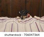 face of curious dog  fox... | Shutterstock . vector #706047364