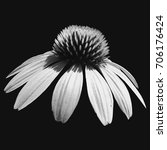 black and white cone flower on... | Shutterstock . vector #706176424