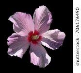 hibiscus flower  | Shutterstock . vector #706176490
