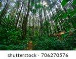 pine forests in sentul  bogor ... | Shutterstock . vector #706270576