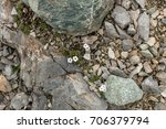 Small photo of Alpine plant Androsace villosa, growing on rocks in the mountains of the Caucasus, Arkhyz, Karachay-Cherkess Republic, Russia