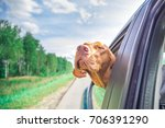 the dog looks out of the car | Shutterstock . vector #706391290