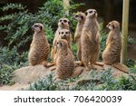 suricates standing on a little...