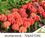 red cactus flowers in pots | Shutterstock . vector #706427290