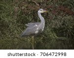 grey heron  ardea cinerea | Shutterstock . vector #706472998