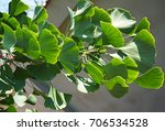 ginkgo tree leaves in summer | Shutterstock . vector #706534528