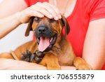 woman holds a rhodesian... | Shutterstock . vector #706555879