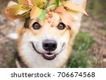 a dog of the welsh corgi breed... | Shutterstock . vector #706674568
