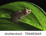 Small photo of Scinax Tree Frog in the leaf (Scinax argyreornatus) photographed in Guarapari, Espírito Santo - Southeast of Brazil. Atlantic Forest Biome.