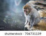 Snow Monkey Or Japanese Macaque ...