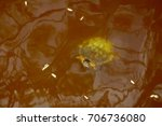 Turtle In Golden Freshwater.