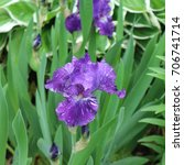 Small photo of Beauty Iris