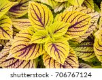 Multicolor Decorative Plant  ...