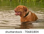 Two Years Old Dogue De Bordeau...