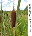 Small photo of Cattail, Typha, laxmannii