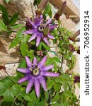 Small photo of Passiflora violacea